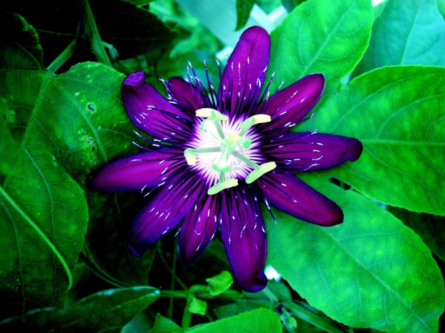 passion-flower-947515_960_720
